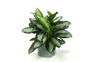 "10"" Aglaonema Diamond Bay"